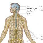 وقتی عصب قطع میشود چه اتفاقی می افتد؟