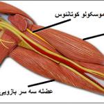عصب عضلانی جلدی (عصب موسکولو کوتانئوس)